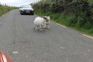 Yep ... That is a couple of sheep in the road