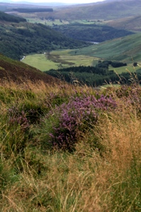 Heather :: Wicklow Mountains, County Wicklow