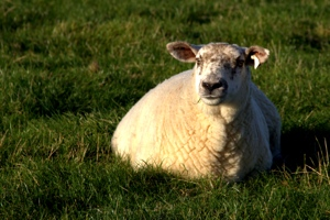 Tara Sheep, County Meath