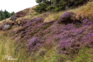 Wicklow Heather