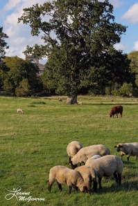 Charleville Sheep