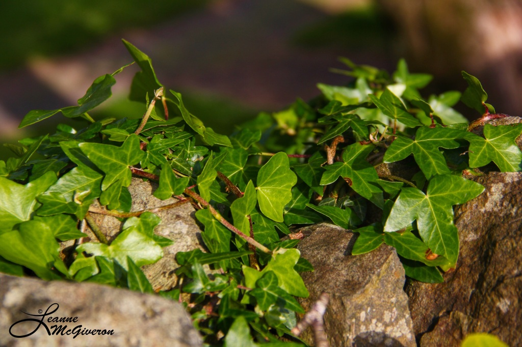 Ivy and Stone, Rathdrum, County Wicklow