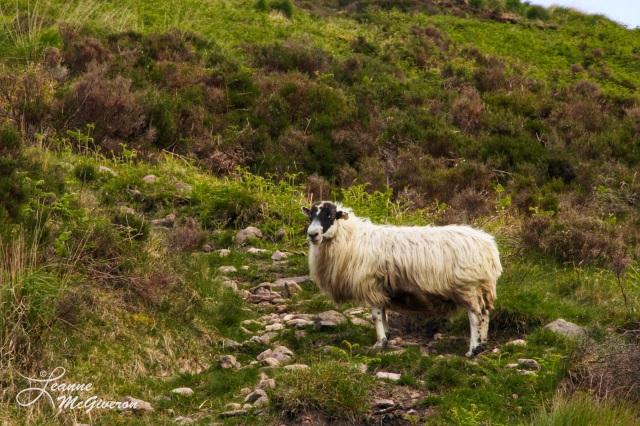 Single Sheep, Knockmealdown Mountains, County Tipperary