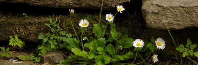Flora on Stone, Glendalough, County Wicklow