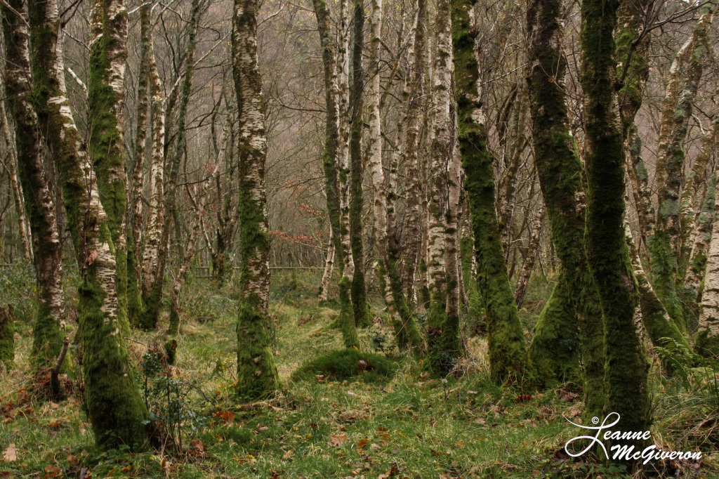 Into a December Forest, Glendalough, County Wicklow