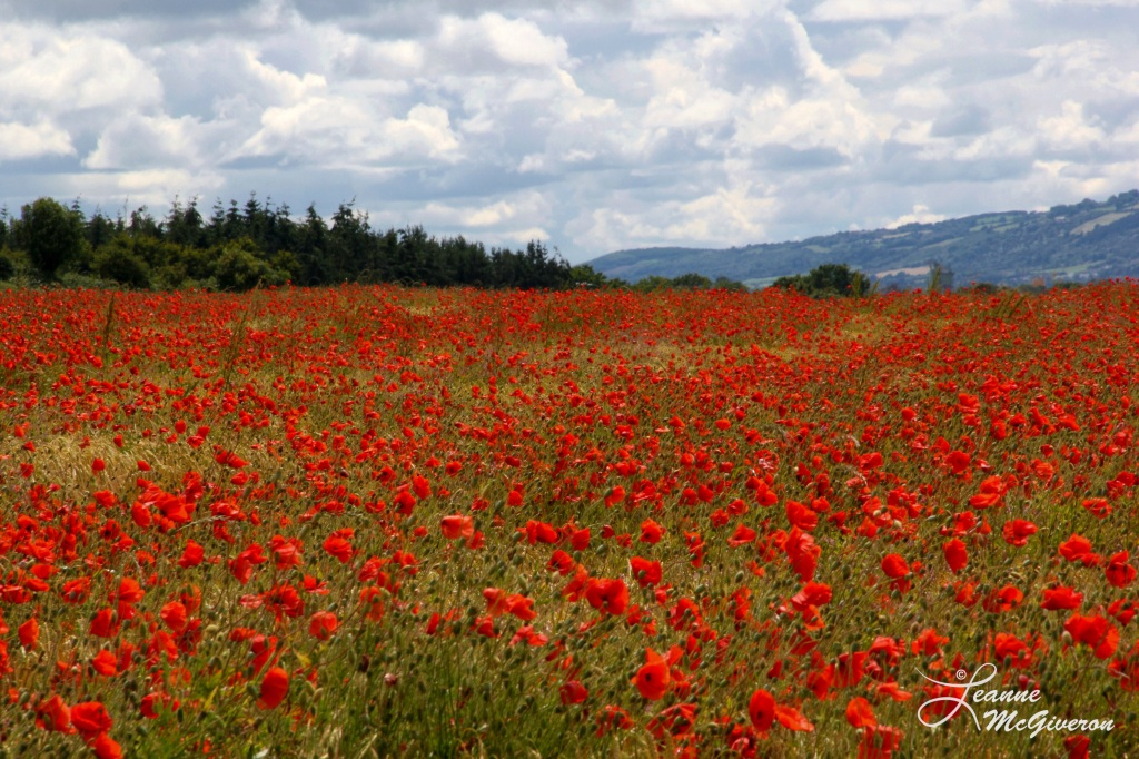 A Field of Poppies, County Carlow