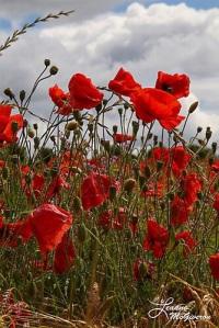 Pretty Poppies, County Carlow