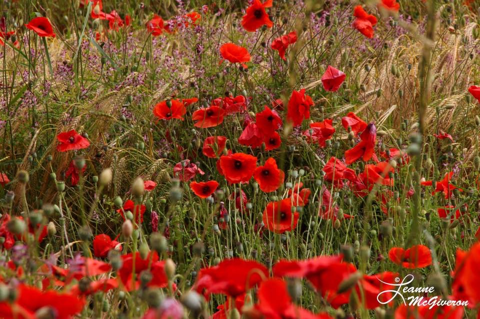 Poppies and More along N81, County Carlow