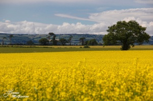 The Yellow of a Rapeseed Field, County Carlow