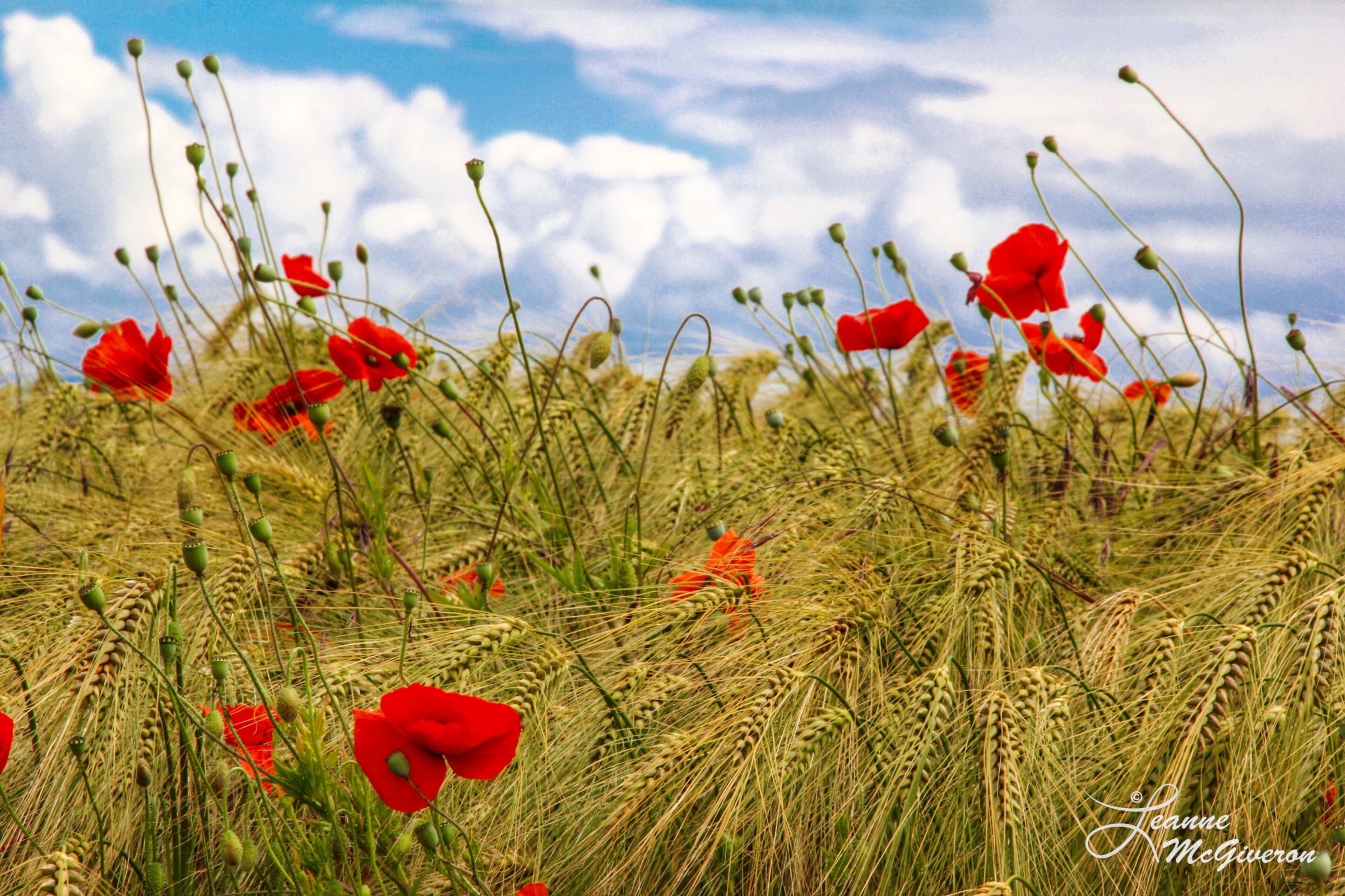 Poppies & Rye, County Carlow