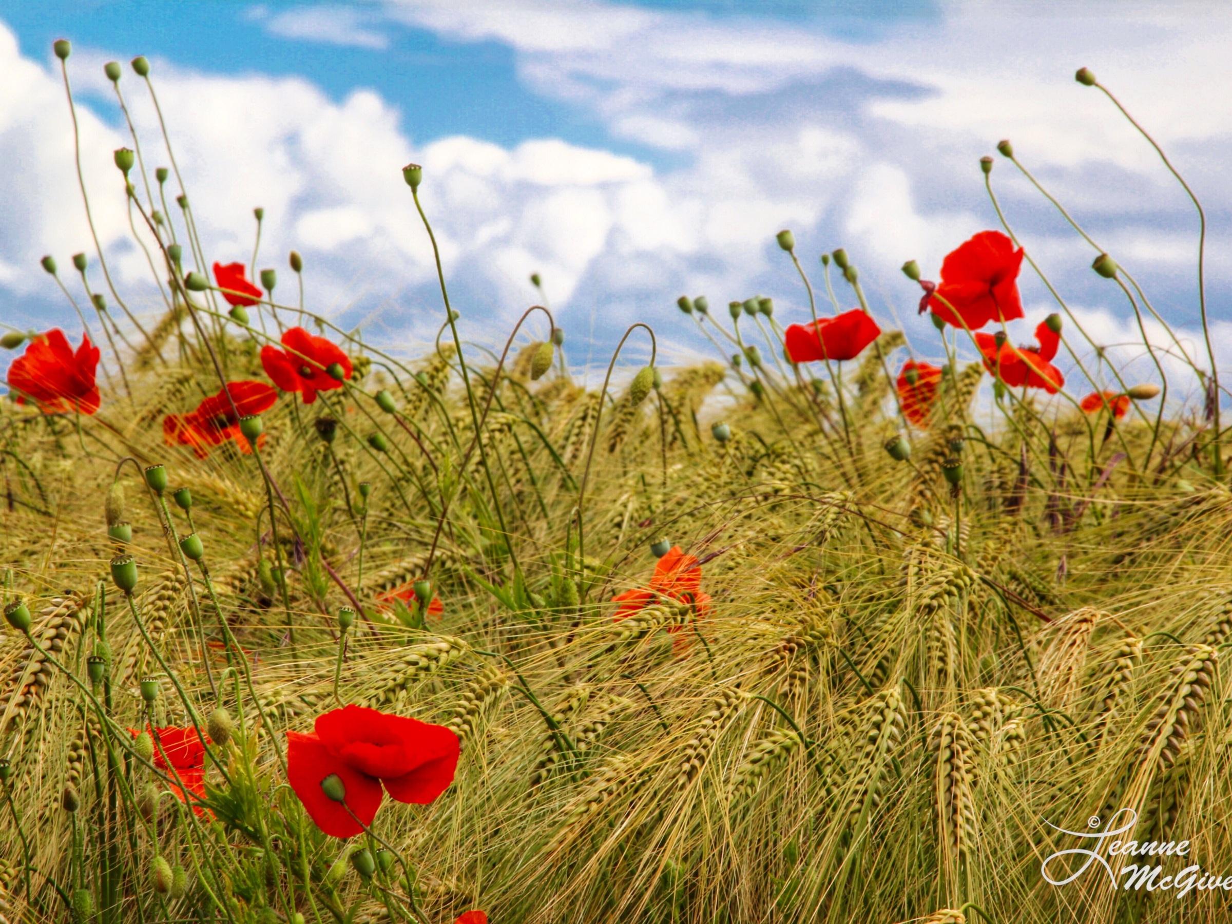 Poppies & Rye, County Carlow