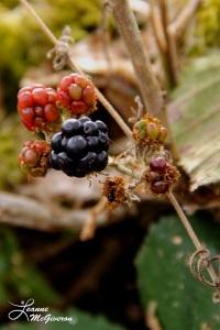 Blackberries Along the Road