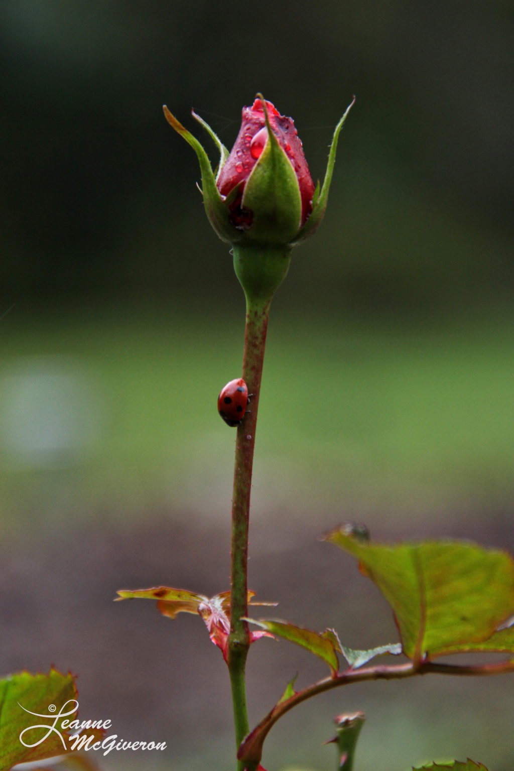Rose & a Ladybird