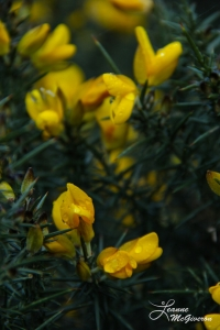 Gorse, Powerscourt Waterfall