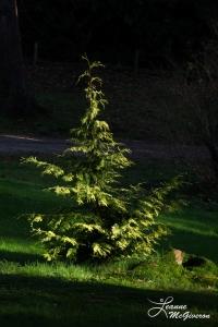 Single Tree, Powerscourt Estate, Enniskerry, County Wicklow