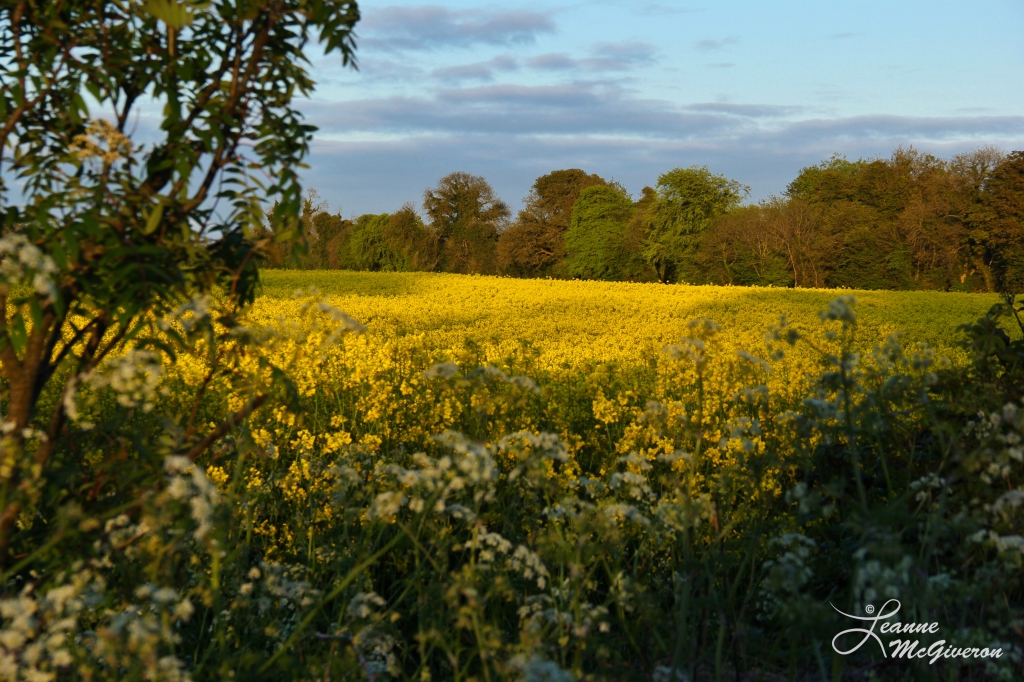 Rapeseed Field, County Meath